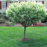 Pruning by Centennial Property Maintenance Centennial CO (303) 713-9306